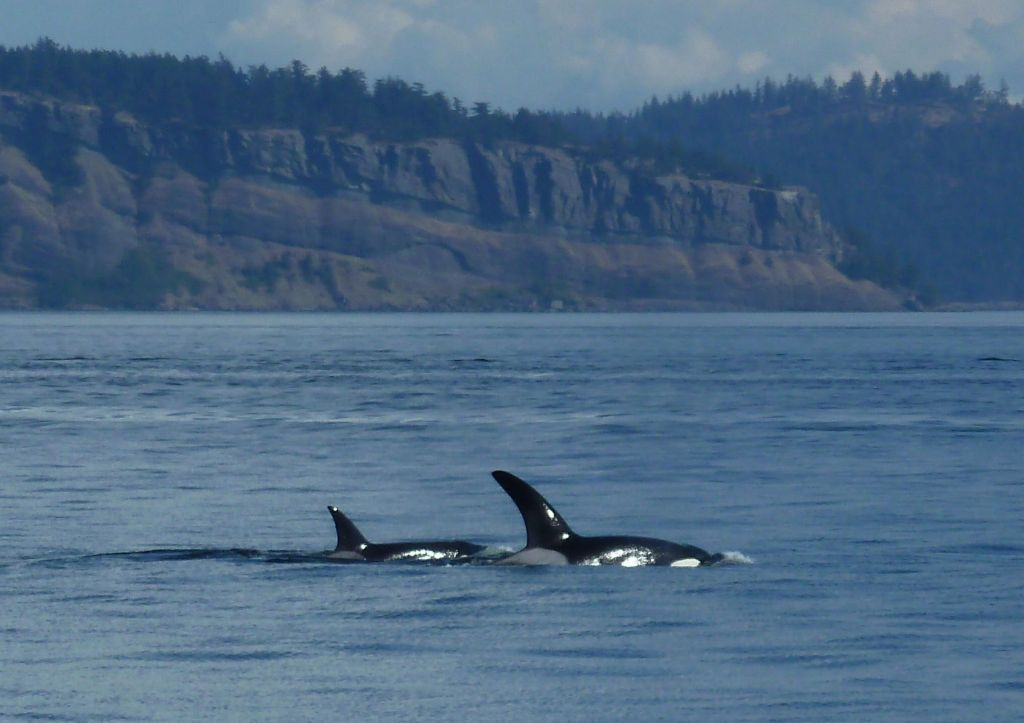 we saw a few orcas after a long boat trip