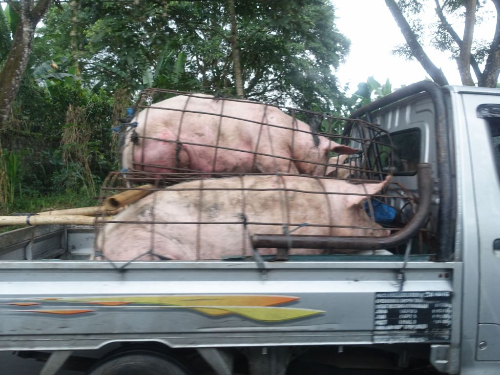 those poor pigs were probably not going for a joy ride