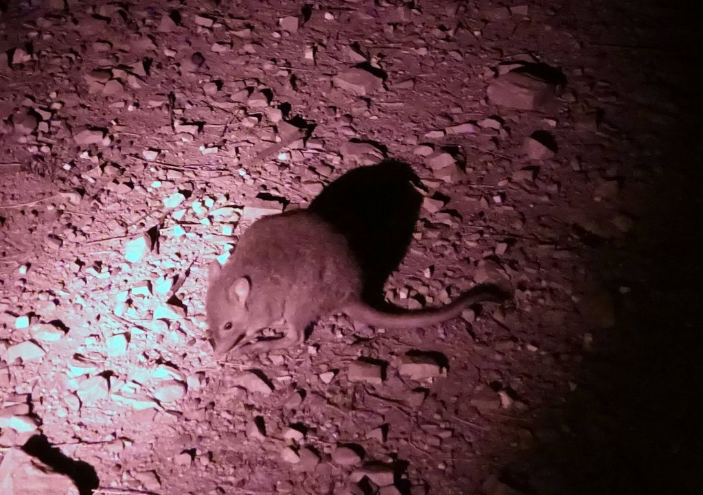 some kind of mouse rat