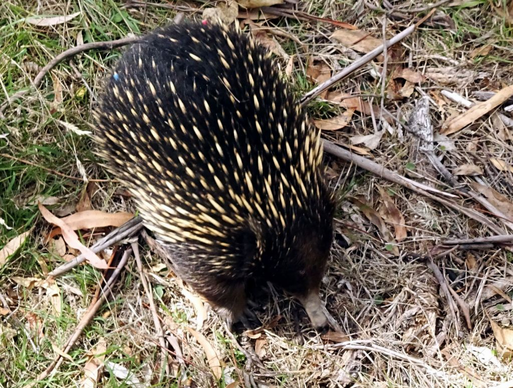 I even found a wild echidna roaming around