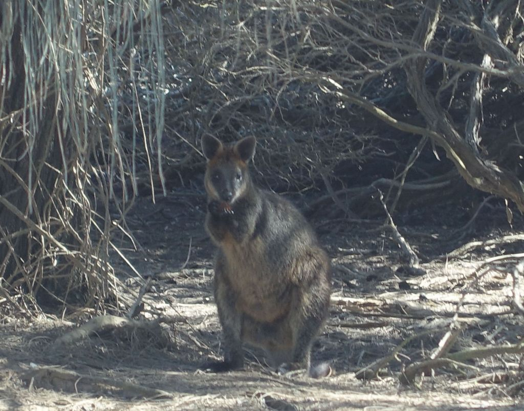 did I mention wild wallabies? :)