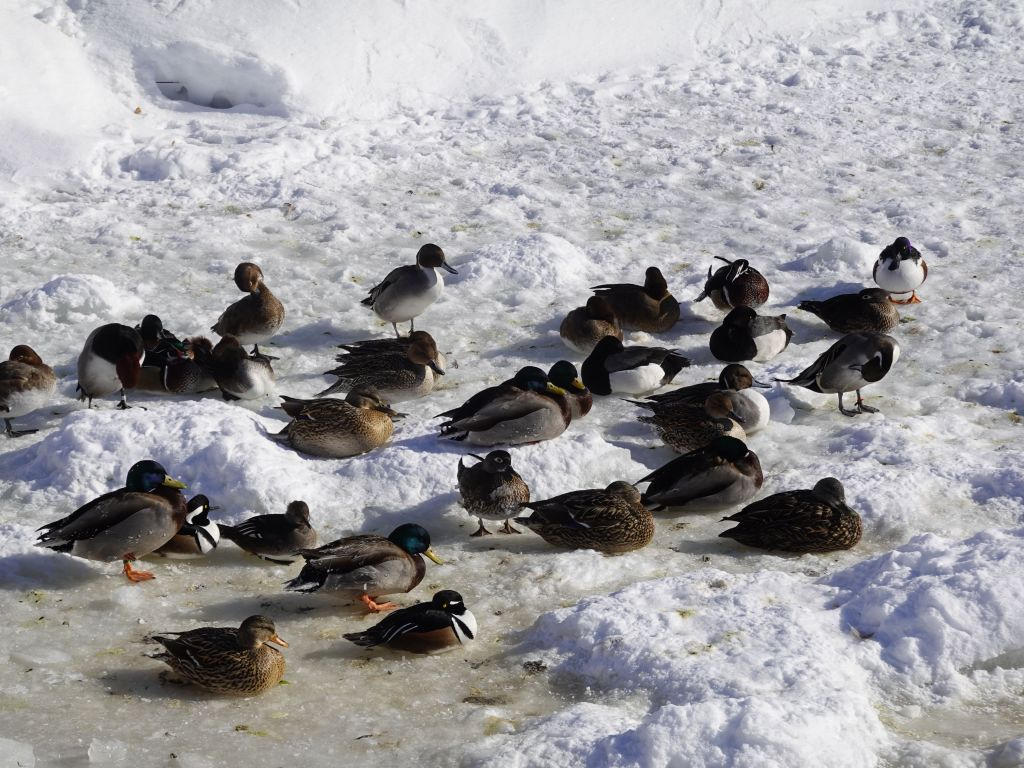even the ducks were fine with the cold