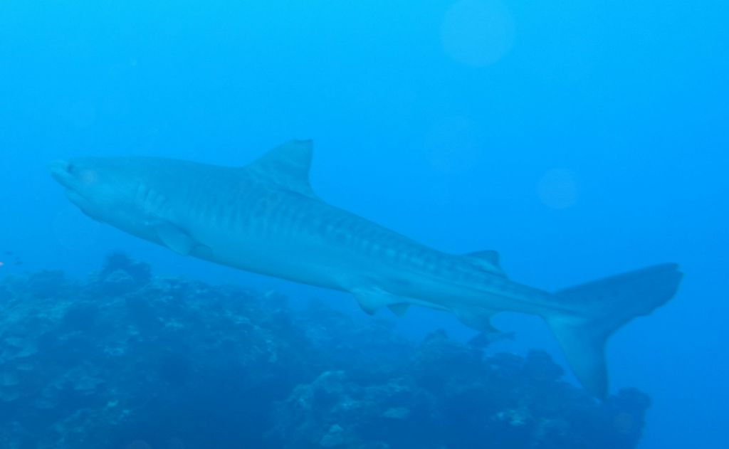 a tiger shark, those are huge and eat turtles amongst other things