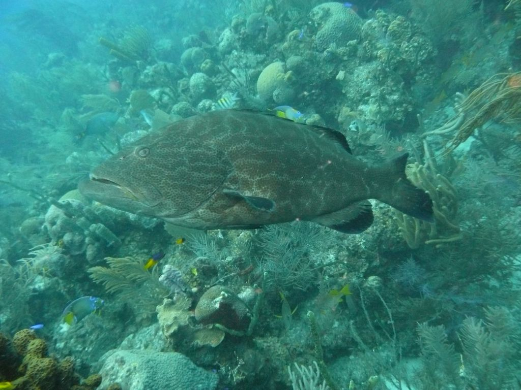 nicely sized groupers