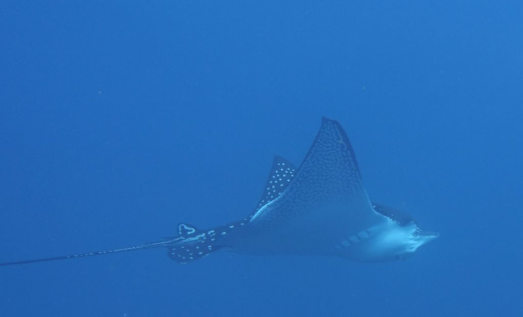 a single eagle ray