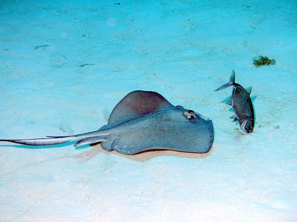 fish like to hunt in pair with rays