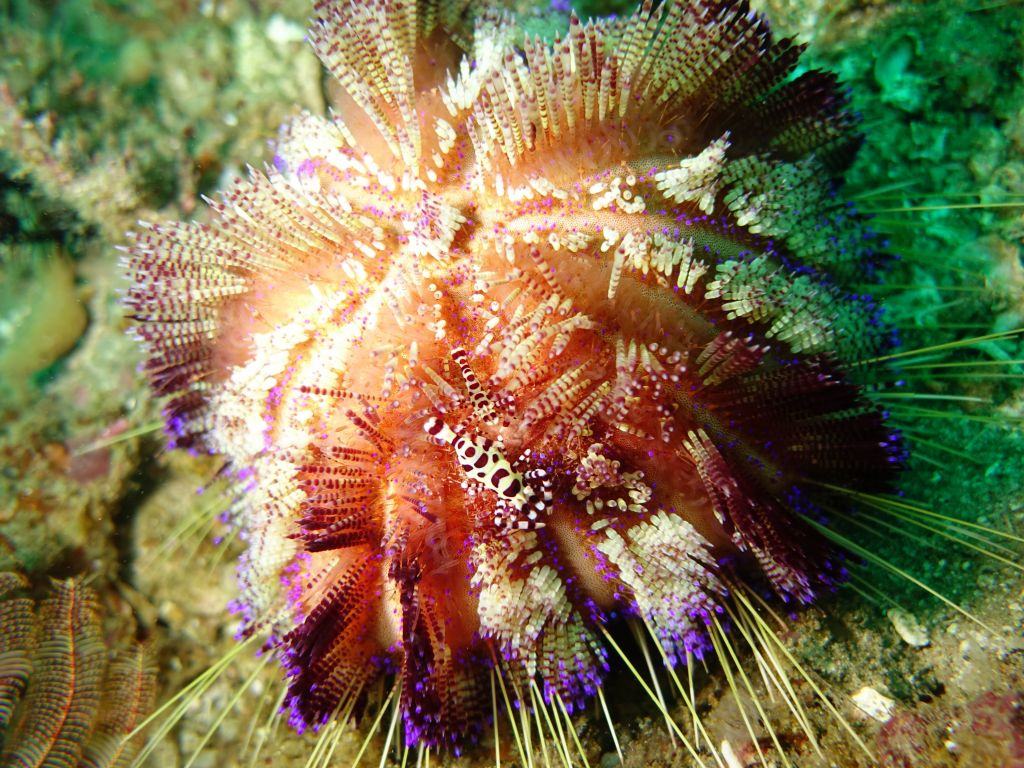 pretty sea urchin with 2 small shrimp