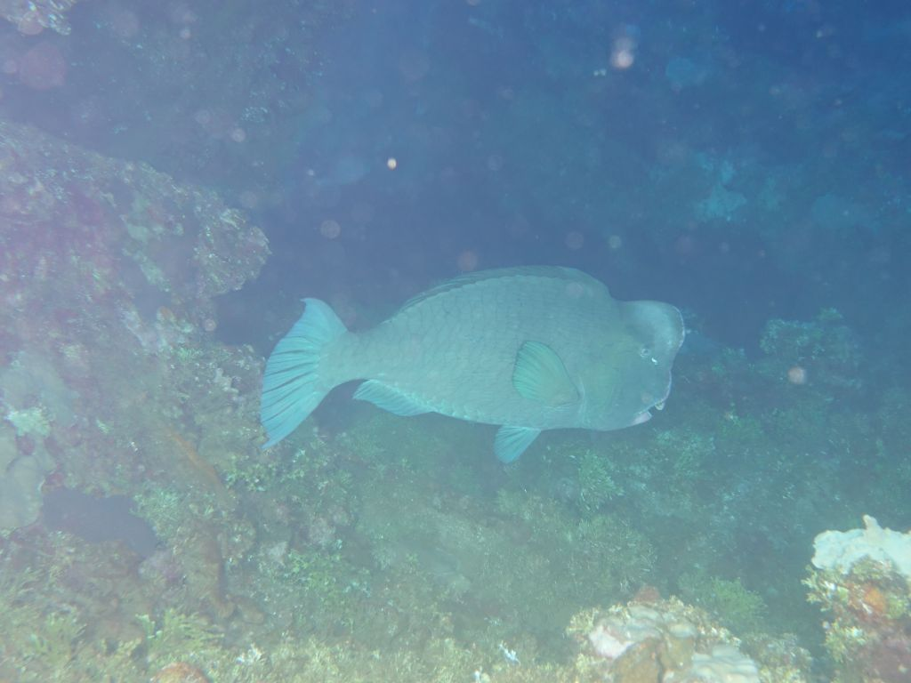I was able to spot a humphead parrotfish, rare in that area