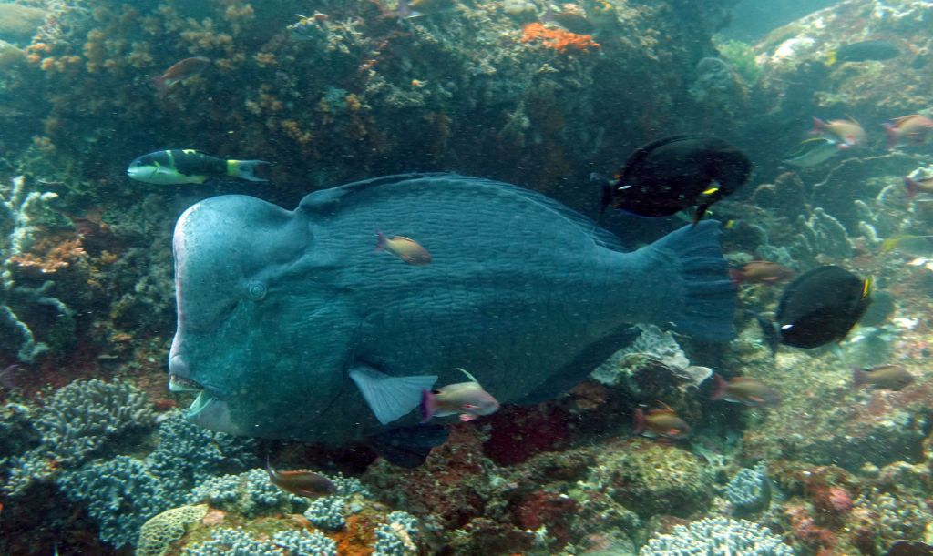 on one of our 2 manta dives we were also rewarded with huge humphead parrotfish