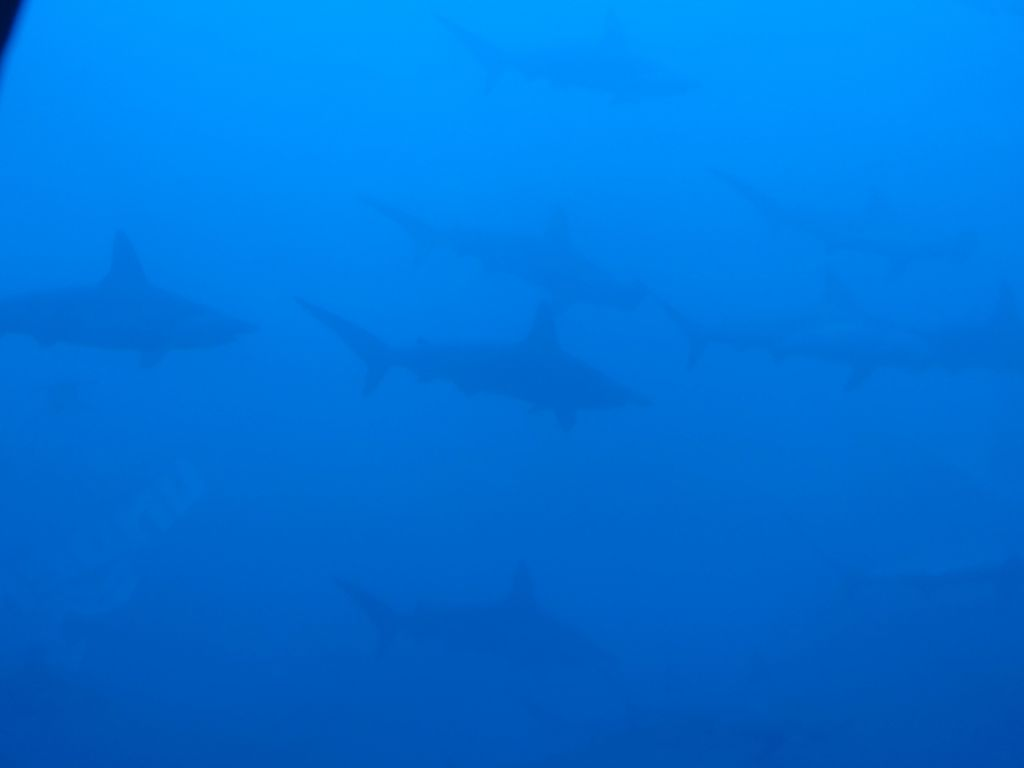 some hammerhead sharks buzzing us