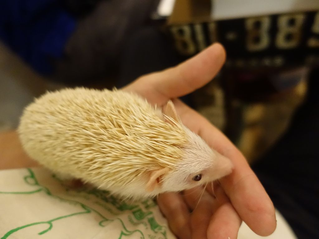 it's a small breed, hedgehogs can get much bigger than that