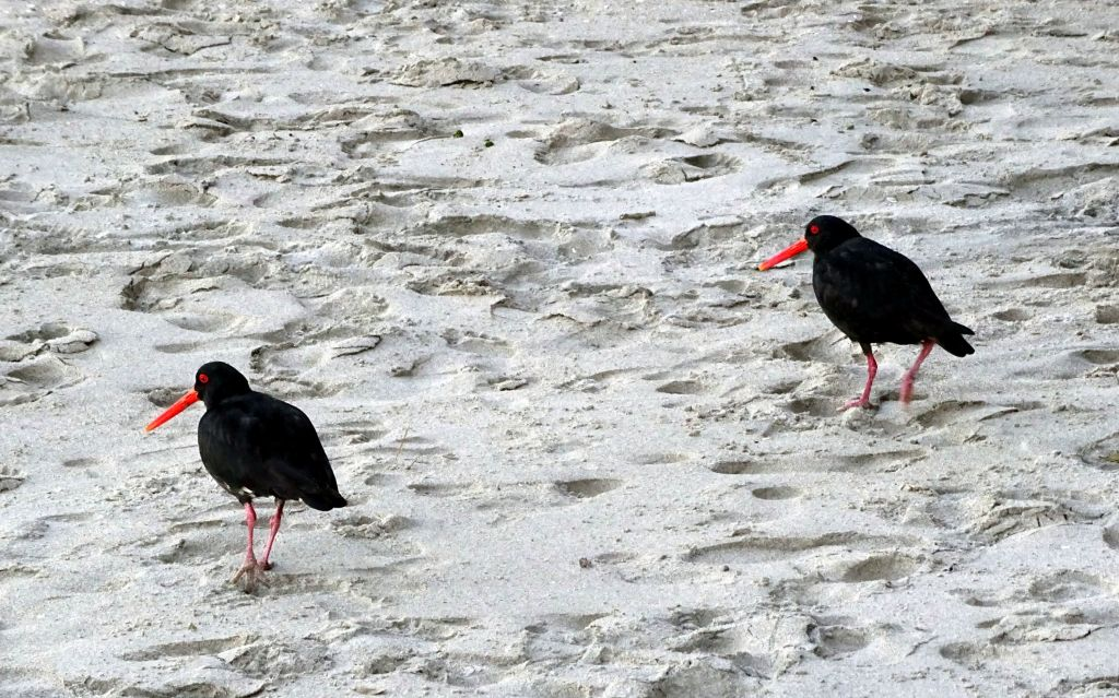 oyster catcher birds