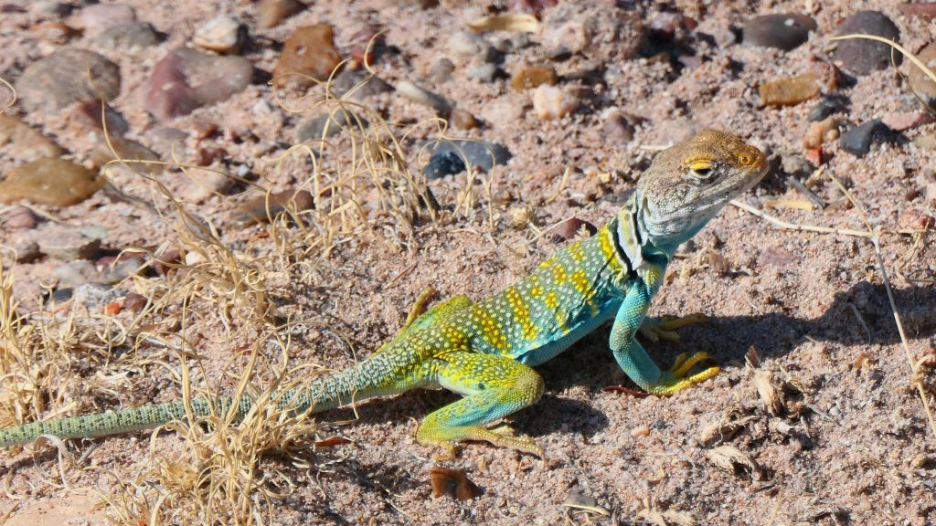 lovely colorful lizard