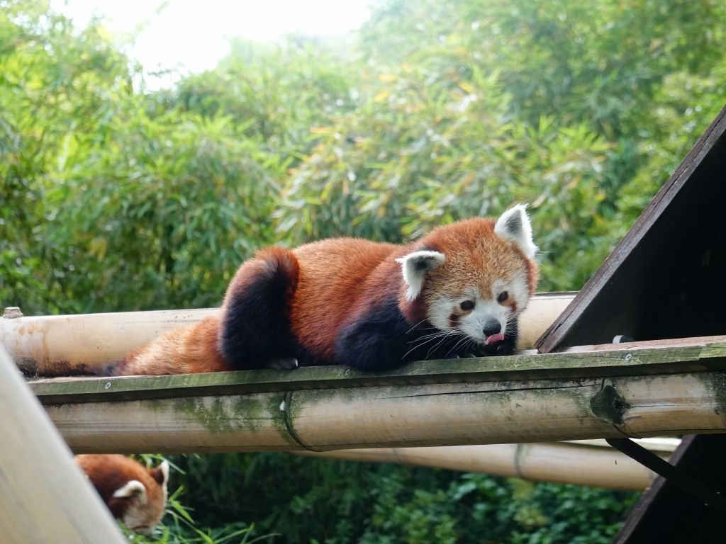 red pandas are so cute :)