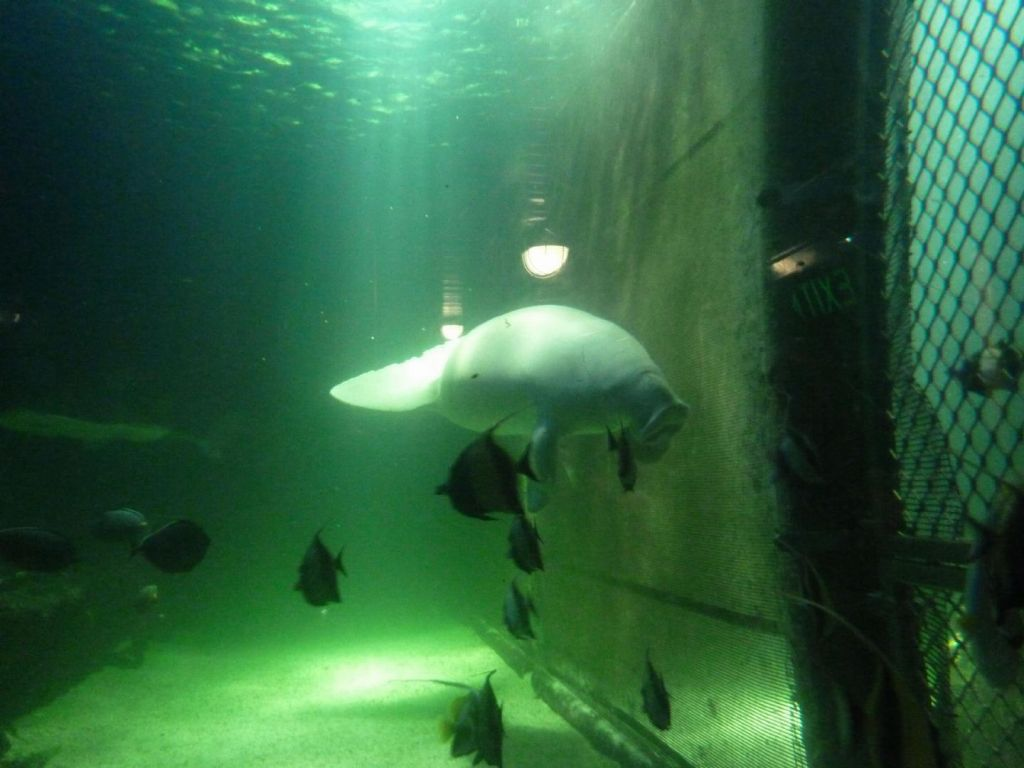 The Australian Dugong sure looks like a Manatee, but it lives in salt water only
