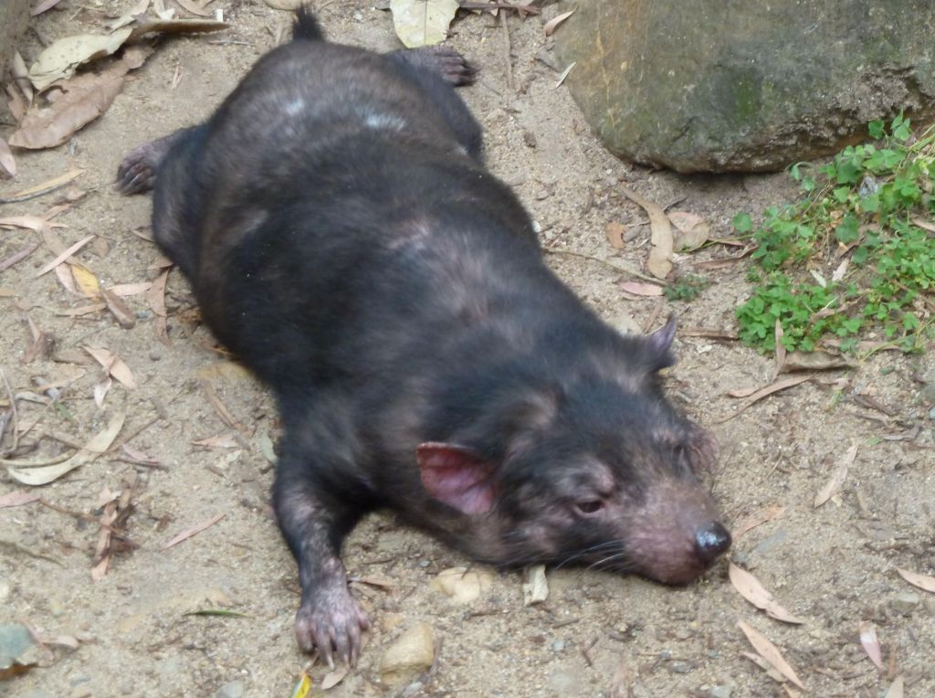 tasmanian devils remind me of puppy dogs on occasion.