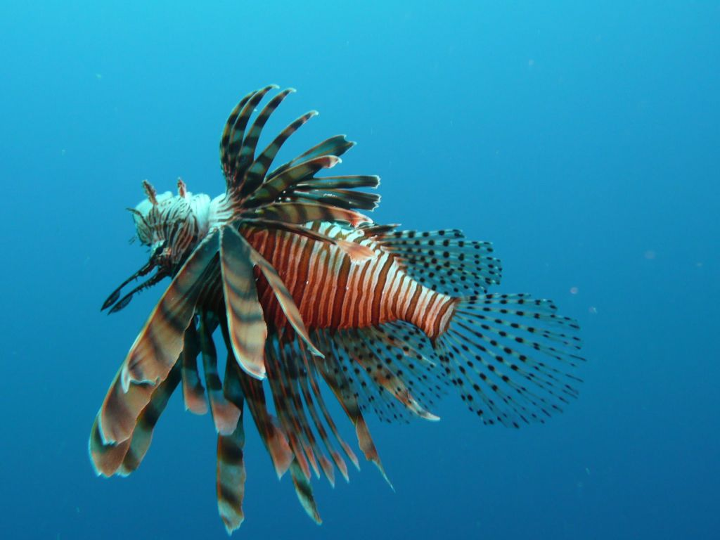 lionfish are pest with no predators there
