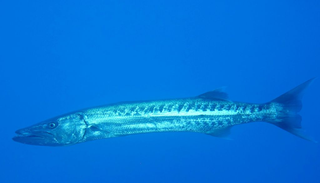 Blue holes also had a huge barracuda