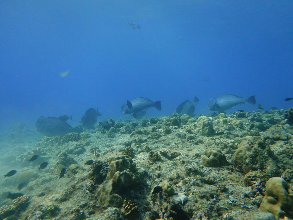 nice school of humphead parrotfish