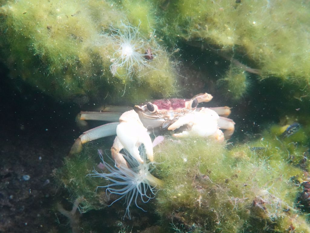 and I found this single invasive crab